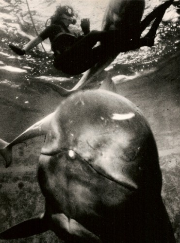 Reporter Barbara Falconer Newhall swims with Koko, pilot whale at Marine World-Africa USA, May, 1979. San Francisco Chronicle photo by John O'Hara