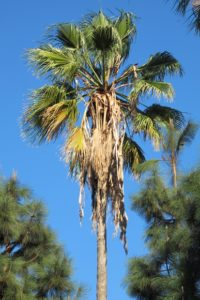 A palm tree in Southern California against a cloudless blue drought sky. Photo by BF Newhall