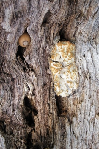 A lump of fungus pooches out from a crack in a dying valley oak tree at Bishop's Ranch, Sonoma county, CA. Photo by BF Newhall
