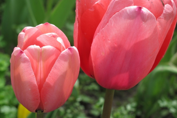 Two deep pink tulips bloom at Mountain View Cemetery, Oakland, CA. Photo by BF Newhall
