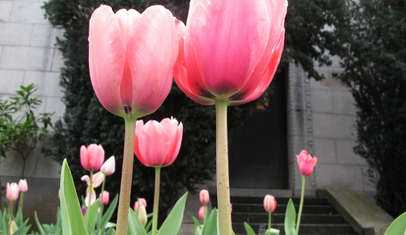 looking at pink tulips just opening from the underside at Mountain View Cemetery in Oakland, CA. Photo by BF Newhall