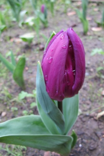 Purple tulip bud about to open at Mountain View Cemetery, Oakland, CA.  Photo by BF Newhall