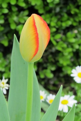 Yellow tulip tinged with orange blooms at Mountain View Cemetery, Oakland, CA. Photo by Bf Newhall