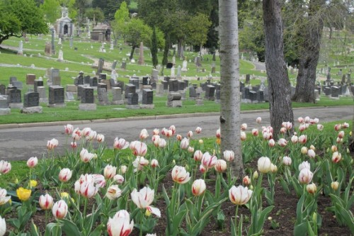 White tulips with red streaks bloom across street from tombstones at Mountain View Cemetery, Oakland, CA.  Photo by BF Newhall