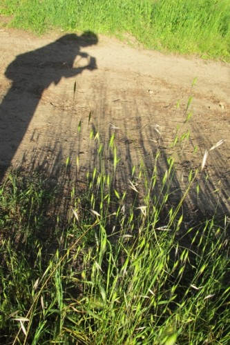 The shadow of the photographer appears along side the shadows of the grass she is photographing. Photo by BF Newhall