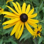Yellow Rudbeckia blossom with a dark brown center, also known as black-eyed susan. Photo by Barbara Newhall