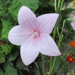 A five-petaled Platycodon (pink balloon flower) growing in a Minnesota garden in August. Photo by Barbara Newhall