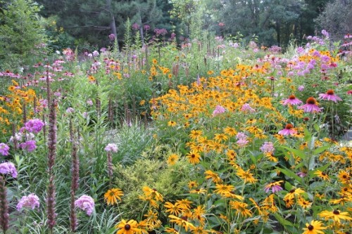 Rudbeckia and echinacea in a flourishing Minnesota flower garden. Photo by Barbara Newhall