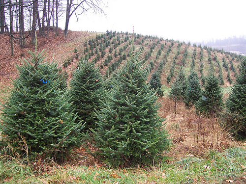 Rows of perfectly shaped christmas tree on a tree farm. Creative commons photo