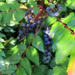 Dark blue berries and oppositely arranged, pinnately veined green leaves of the oregaon grape plant of the Pacific Northwest. Photo by Barbara Newhall