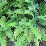 Sword ferns growing in a woods in the Pacific Northwest. Photo by Barbara Newhall