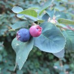 A blue and a light magenta colored berriy of the service berry plant of the San Juan Islands. Photo by Barbara Newhall