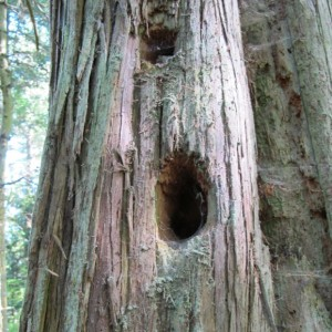 Holes in a tree in the San Juan Islands are the work of the pileated woodpecker. Photo by Barbara Newhall
