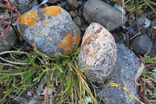 Granite rocks with lichen and pickle grass in Washington's San Juan Islands. Photo by Barbara Newhall