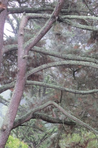 The branches of a mature San Francisco Bay Area Monterey pine in the misty light of a November rain. Photo by Barbara Newhall