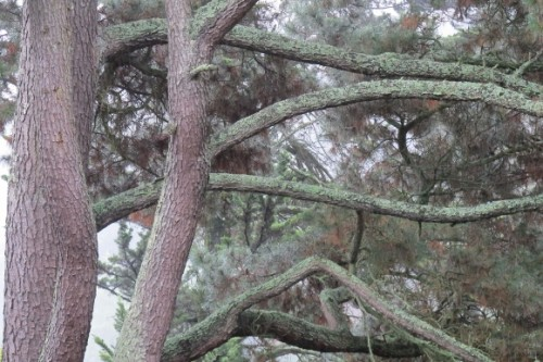 Thick gray limbs of a Monterery pine tree in the rain. Photo by Barbara Newhall