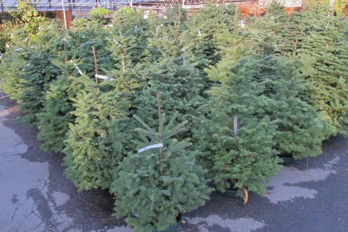 Nob;e fir trees standing in rows at the Orcard Nursery in Lavfatette, California, ready for Christmas. Photo by Barbara Newhall