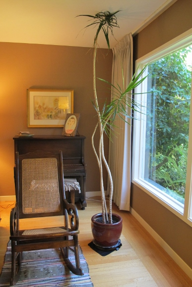 The slender stalks of a dracena marginata growing too talk for their living room setting. Photo by Barbara Newhall