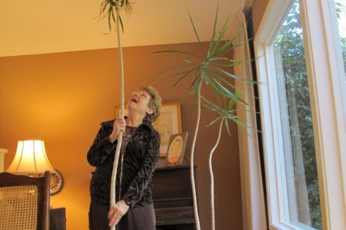 Homeowner succeeds in removing eight-foot stalk from an overgrown dracena marginata plant. Photo by Barbara Newhall