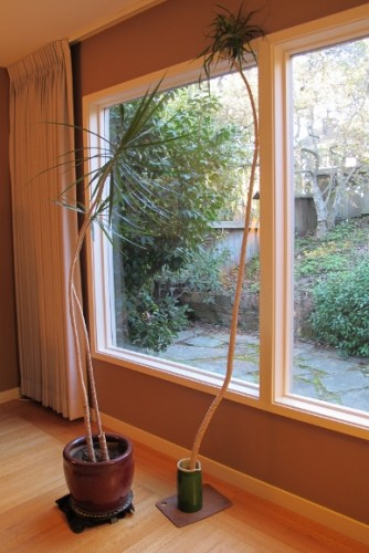 The too-tall stalk of a dracena marginata was cut off and now stands beside the potted plant.  Photo by Barbara Newhall