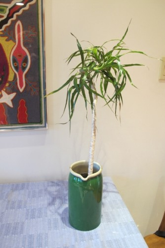 A cutting from a pruned dracena marginata placed in water to grow roots. Photo by Barbara Newhall