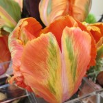 "Orange tulip with green and yellow streaks, detail of ""Fusion,"" a floral design for the 2015 Tulip Exhibition at the Mountain View Cemetery, Oakland, CA. Design is by Kay Wolff of Kay Wolff Design, Berkeley. Photo by Barbara Newhall"