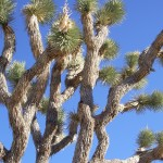 limbs of a Joshua tree at johsua tree national park. Photo by barbara Newhall