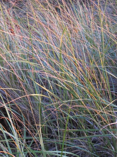 "the of-courseness of god. Beach grass at sunset on Lake Michigan's eastern coast. Photo by Barbara Newhall Barbara Falconer Newhall travels up and down Michigan's lower peninsula, visiting friends and family and putting on book events for ""Wrestling with God."""