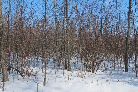 Deciduous trees in upper Midwest in winter, without leaves standing in snow with bright blue sky. Photo by Barbara Newhall