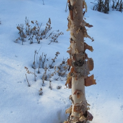 A tree with white trunk and peeling bark in winter snow. Photo by Barbara Newhall