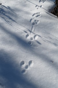 Animal tracks in the snow through a Midwestern flower garden in winter. Photo by Barbara Newhall