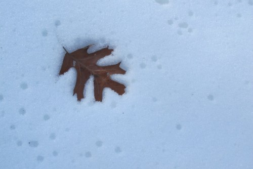 An oak leaf settles into the snow on a frozen day in the Midwest. Photo by Barbara Newhall