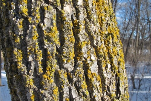 Tree bark with green lichen in winter. Photo by Barbara Newhall