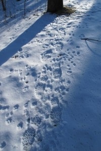 Barbara Newhall's boot prints mingle in the snow with the footprints of woodland animals. Photo by Barbara Newhall