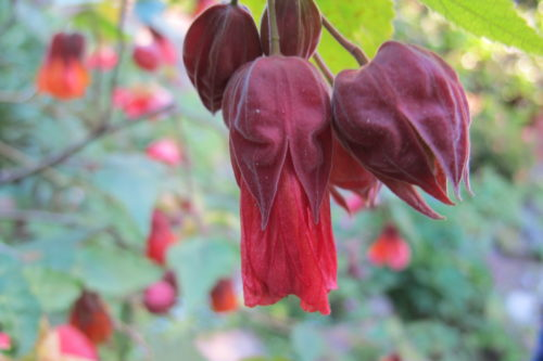 Orage abutilon blossom with deep mauve sepals. In honor of Purple Rain and Prince. Photo by Barbara Newhall