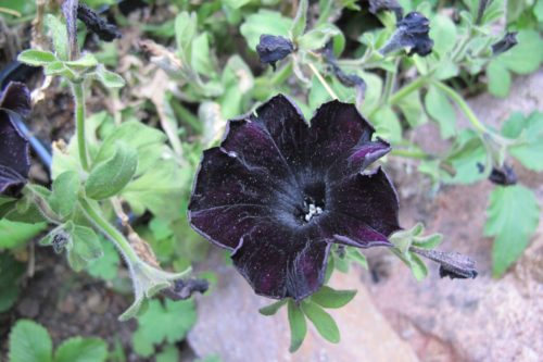 Pansies so purple they appear black -- are they flourishing in honor of Purple Rain by pop singer Prince? Photo by Barbara Newhall