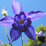 Purple columbine blossoms in our rock garden in spring. A fibonacci number expressed. Photo by Barbara Newhall