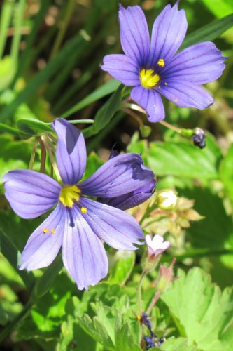California native blue-eyed grass, small blue flowers. Fibonacci numbers. Photo by Barbara Newhall