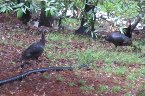 Turkeys at our house: live in our back yard. Photo by Barbara Newhall
