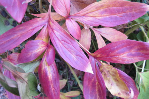 Peony leaves turning magenta in autumn in a Midwestern garden. Photo by Barbara Newhall