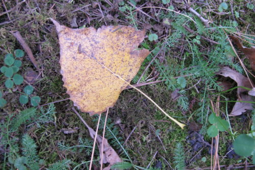 Cottonwood leaf ??? in a Midwestern garden in Autumn. Photo by Barbara Newhall