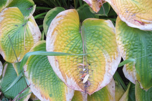 Hosta leaves dying back in autumn in a Midwestern garden. Photo by Barbara Newhall