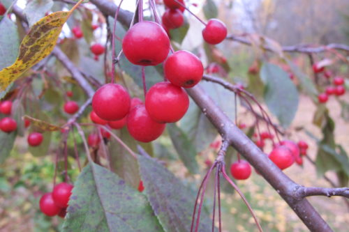 Autumn in the Midwest with bright red berries. Photo by Barbara Newhall