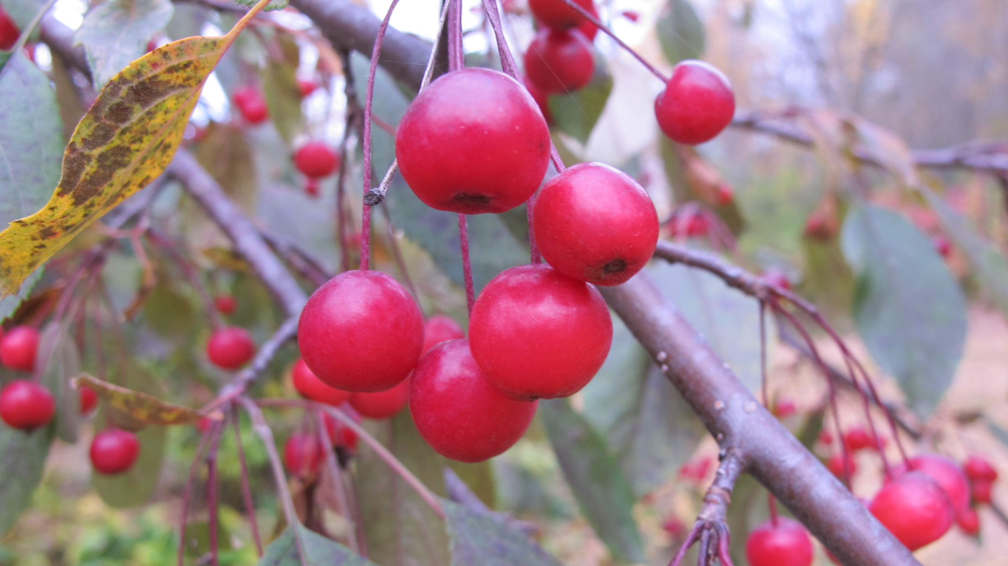 Red, red berries in a garden in autumn in the upper midwest. Photo by Barbara Newhall