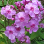 Pink and magenta Phlox blooming in a Minnesota garden. Photo by Barbara Newhall