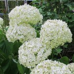 Large pom-pons of white hydrangea against dark green foliage. Photo by Barbara Newhall