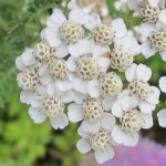 White yarrow blossoms up close. Photo by Barbara Newhall