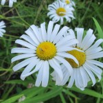 Two blossoms of the oxeye daisy eurasian flower, with white petals and yellow centers. Photo by Barbara Newhall