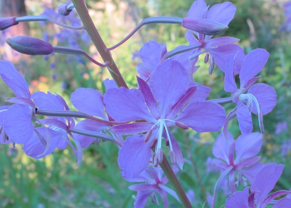 God-given wildflowers. Fireweed blossom appears purple in the shade on an island in Washington's San Juan Islands. Photo by Barbara Newhall