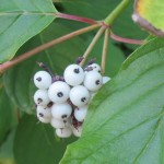 The white berries and green leaves of an osier dogwood plant in the San Juan Islands, Photo by Barbara Newhall
